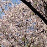 渋谷 桜坂のお花見